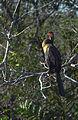 Everglades14(js)-Anhinga.jpg