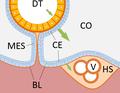 Evolution of heart - coelomate circulation.png