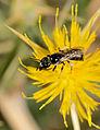 Exoneuridia libanensis female 2.jpg