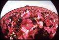 FLOWER FIELDS OF LOMPOC WHERE MANY OF WORLD'S FLOWER SEEDS ARE GROWN - NARA - 542706.tif