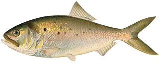 Otocephala Clade of ray-finned fishes