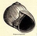 FMIB 52796 Polynices duplicata.jpeg