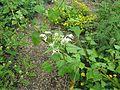 Fagopyrum dibotrys Cally Form - Flickr - peganum (2).jpg