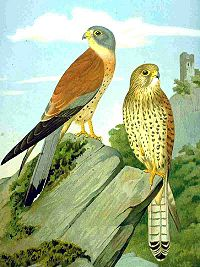 Falco naumanni NAUMANN