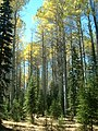 Fall Color at a Poplar Grove, Wallowa Whitman National Forest (26195909334).jpg