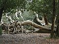 Fallen tree in New Forest - geograph.org.uk - 85860.jpg