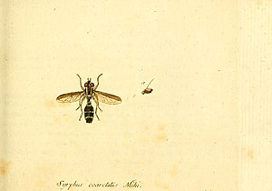 Doros profuges - Doros profuges depicted in Fauna Germanica