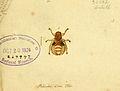 Fauna Germanica, Diptera 1793, vol.1, p10, Pediculus Cervi Fabr..jpg
