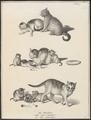 Felis catus domesticus - 1809-1845 - Print - Iconographia Zoologica - Special Collections University of Amsterdam - UBA01 IZ22100272.tif
