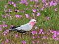 Female-galah-Eolophus-roseicapilla-in-flowers-east-gippsland.jpg