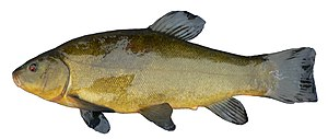 Cyprinidae -  The tench, Tinca tinca, is of unclear affiliations and often placed in a subfamily of its own.