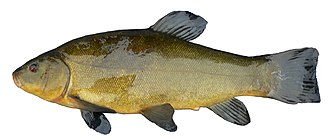 The tench, Tinca tinca, is of unclear affiliations and often placed in a subfamily of its own. FemaleTench1.JPG
