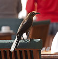 Female Great-tailed Grackle (4371249855).jpg