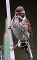 Female Reed Bunting 3 (7314676260).jpg