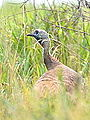 Female Wild Turkey (7780117702).jpg
