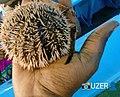 Female sea urchin msa nyali.jpg