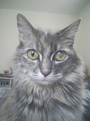 A full-grown female Maine coon, with a catarac...