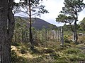Fenced clearing in Rothimurchus Forest - geograph.org.uk - 425765.jpg