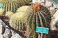 Ferocactus pilosus.jpg