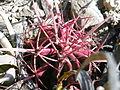 Ferocactus pilosus (5703228295).jpg