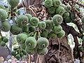 Ficus auriculata 106.jpg