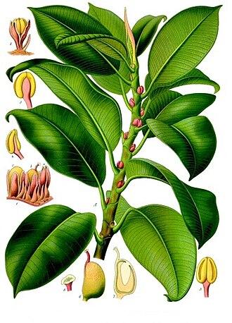 Ficus elastica - Image: Ficus elastica Köhler–s Medizinal Pflanzen 206