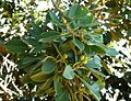 Ficus thonningii, twyge, loof en vrugte, b, Pretoria.jpg