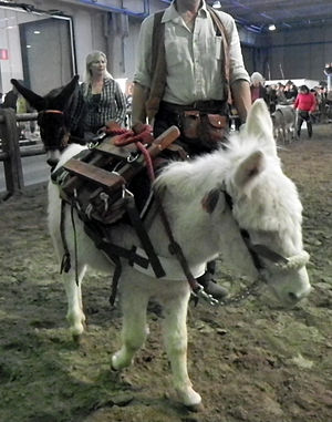Asinara donkey - With pack saddle at Fieracavalli
