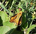 Fiery Skipper. Hylephila phyleus (23998724148).jpg