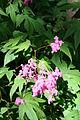 Filipendula × purpurea.jpg