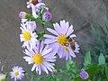 Fiori di Aster con ape 01.JPG