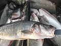 Fish - panoramio (2).jpg