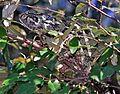 Flap-neck Chameleon (Chamaeleo dilepis) (8293339769).jpg