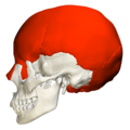 Flat bones in skull - lateral view.png