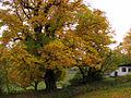 Flickr - Per Ola Wiberg ~ mostly away - the huge chestnut tree.jpg