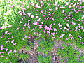 Flickr - brewbooks - Silene acaulis Moss-campion.jpg