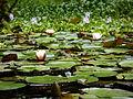 Flores de Lótus e Vitória Régia.jpg