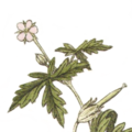 Flower of Geranium sibiricum L., Jacquin et al. 1770, Hortus botanicus vindobonensis, vol 1, plate 19.png