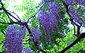 Flower of the Wisteria フジの花 - panoramio.jpg