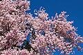 Flowering Cherry (7022218029).jpg