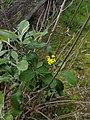Flowering Senecio garlandii.jpg