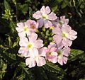 Flowers - Uncategorised Garden plants 258.JPG