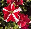 Flowers - Uncategorised Garden plants 36.JPG