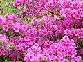 Flowers In Muckross House Park (70288549).jpeg
