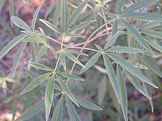 Foliage of Vitex agnus-castus in Texas.jpg