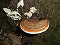 Fomitopsis pinicola 2009 G1.jpg