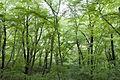 Forest in Mt.Tsukiore 06.jpg