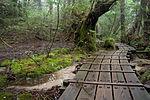 Forest in Yakushima 47.jpg
