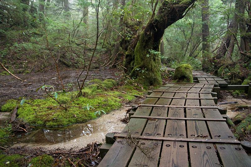 File:Forest in Yakushima 47.jpg