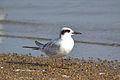 Forster's Tern (Sterna forsteri) (15112049038).jpg